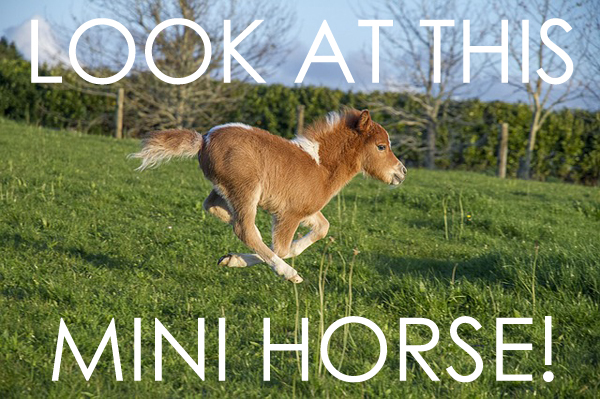 image of a mini horse galloping in a field, to which I've added large text reading LOOK AT THIS MINI HORSE!