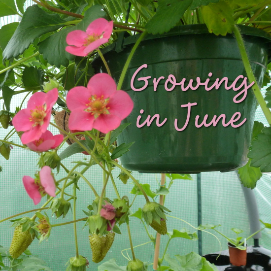 growing in june month of strawberries