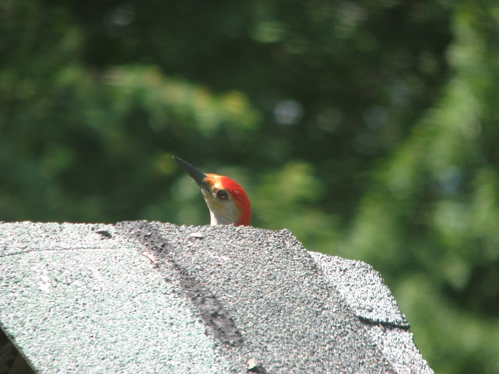 south burlington birds backyard birds photos south burlington