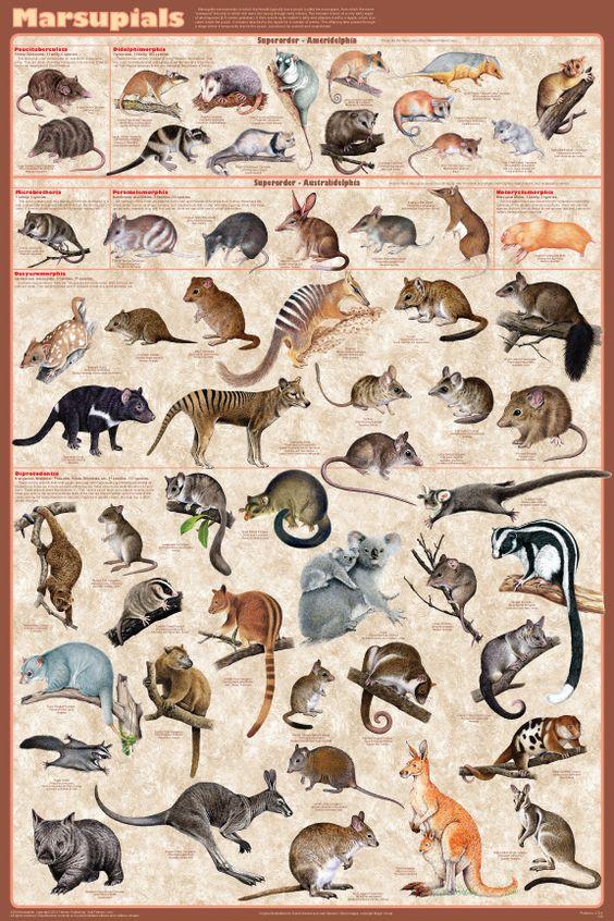 Marsupiais | Zoologia
