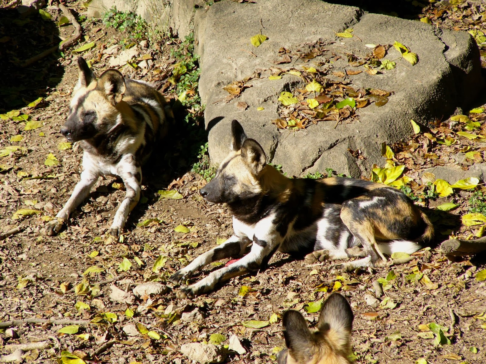 Any One 1 6 Jaeger Birds Hd Wallpapers: Any One 1-6: African Wild Dog HD Wallpapers