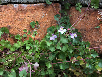 Cymbalaria muralis (Pennywort) on a wall.