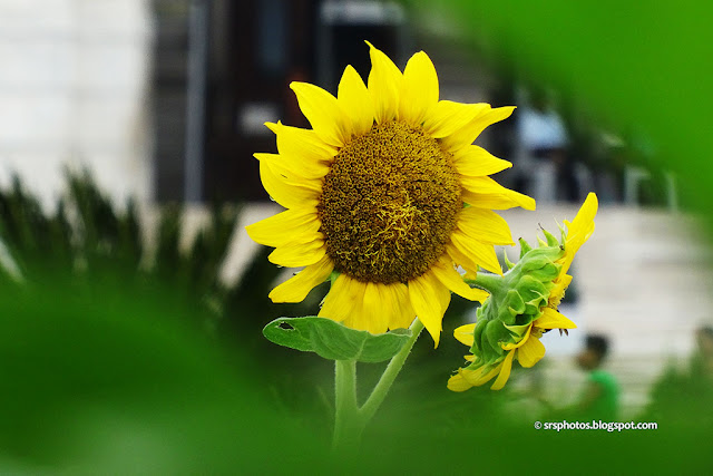 Beautiful Sunflower in the Lawn of Victoria Memorial, Kolkata