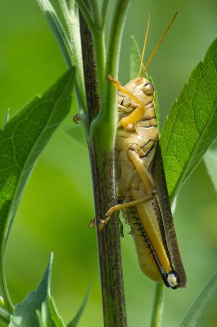 Grasshopper, Hagerman NWR