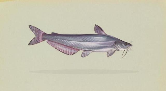 Klasifikasi dan Morfologi Ikan Lele (Clarias sp.)