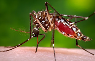 Mosquito is killing
