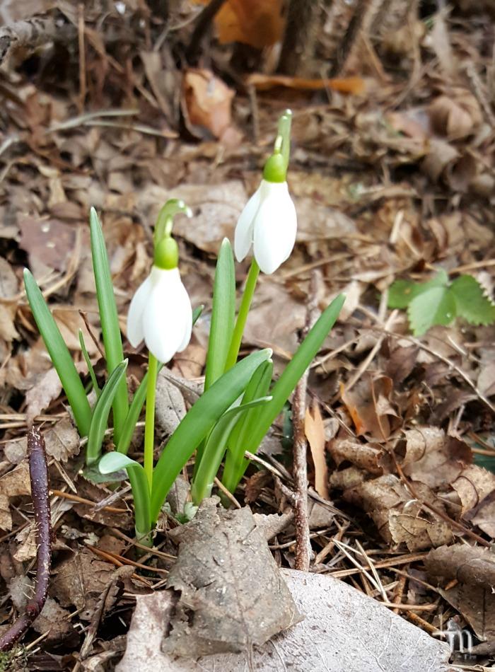 lumikellot kukkivat maaliskuussa 2017