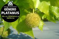 El género Platanus son arboles caducifolios con hojas sencillas, casi siempre palmeadas