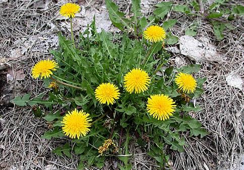 Karahindiba'nın Faydaları Nedir? Karahindiba Çiçeği Nedir?