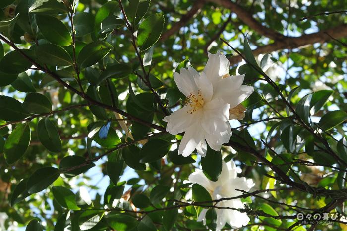 Fleur blanche au temple Jizoin de Kunenan, Kanzaki, Saga