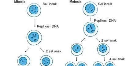 Pembelahan Mitosis Dan Meiosis Beserta Gambarnya Terbaru