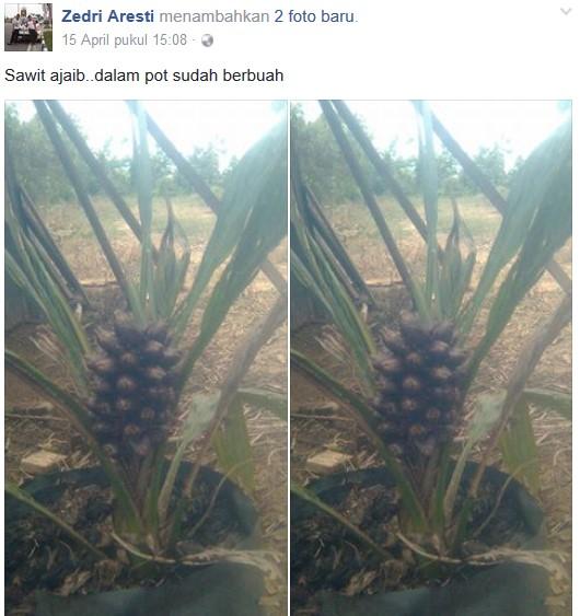 Sawit Aneh di Rokan Propinsi Riau Ini Dalam Polibet Sudah Berbuah