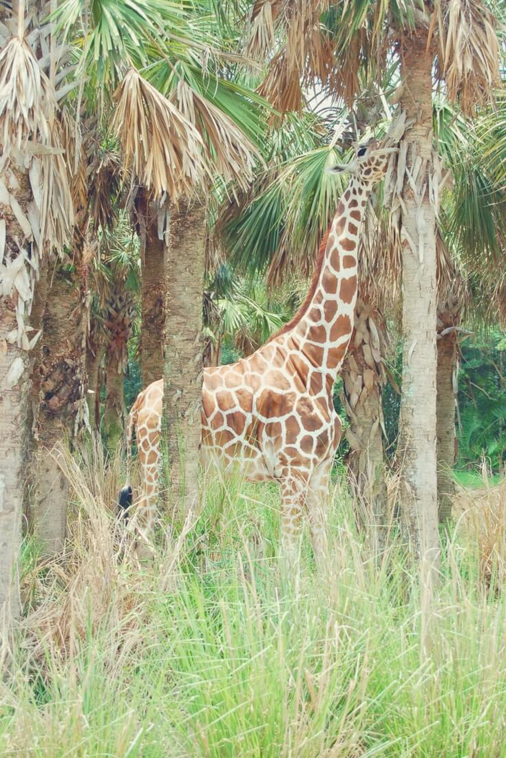 "A brown spotted giraffe reaches its long neck to the top of a palm tree to eat. It is surrounded by stripped palm trees. Long green and brown grass reaches up to its belly, blocking the view of its legs. Image for ""How to get a much-needed rest at Animal Kingdom""."