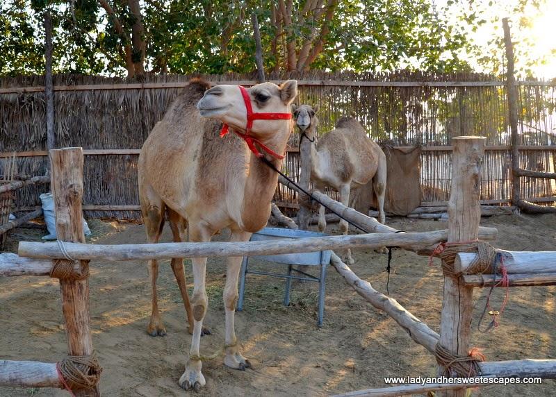 Dubai Cultural Tour: Camels at Dubai Heritage Village
