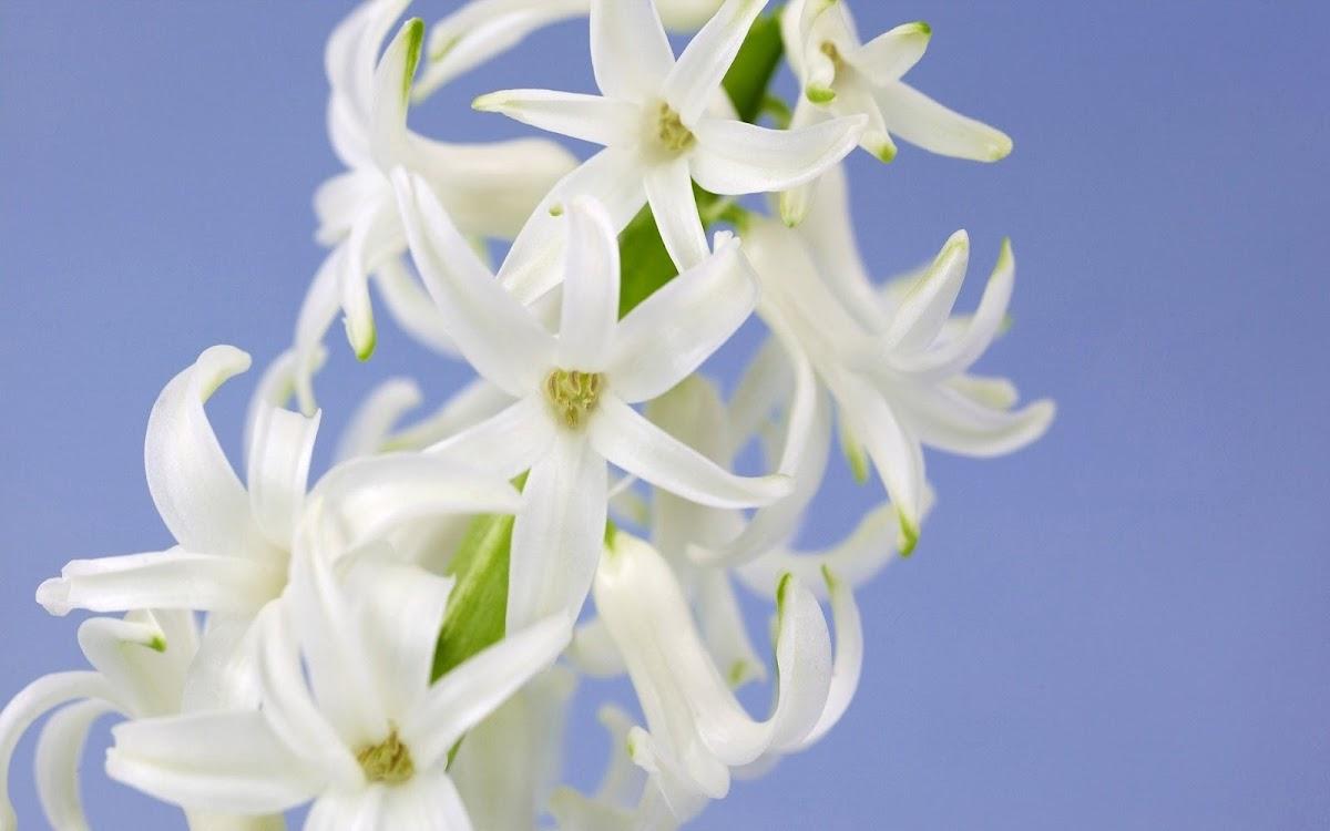 White Flowers Widescreen HD Wallpaper 3