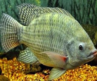 Ikan Nila - cianjurupdate