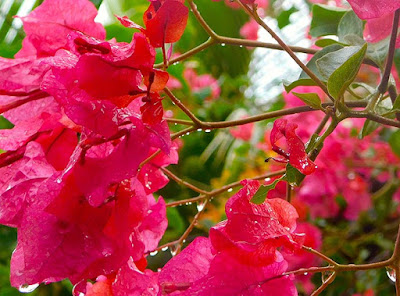 summer, rain, flowers, flora, #payabay, #payabayresort, paya bay resort, nature, beauty,