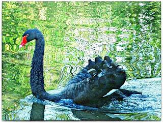 Cisne Negro no Tour Life Spa, Montenegro