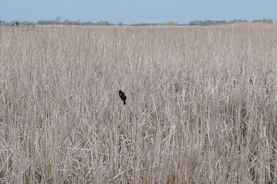 Bird in the Marsh - Point Pelee