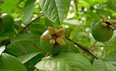 manfaat dauun jambu biji, cara merebus daun jambu biji, khasiat pucuk daun jambu biji
