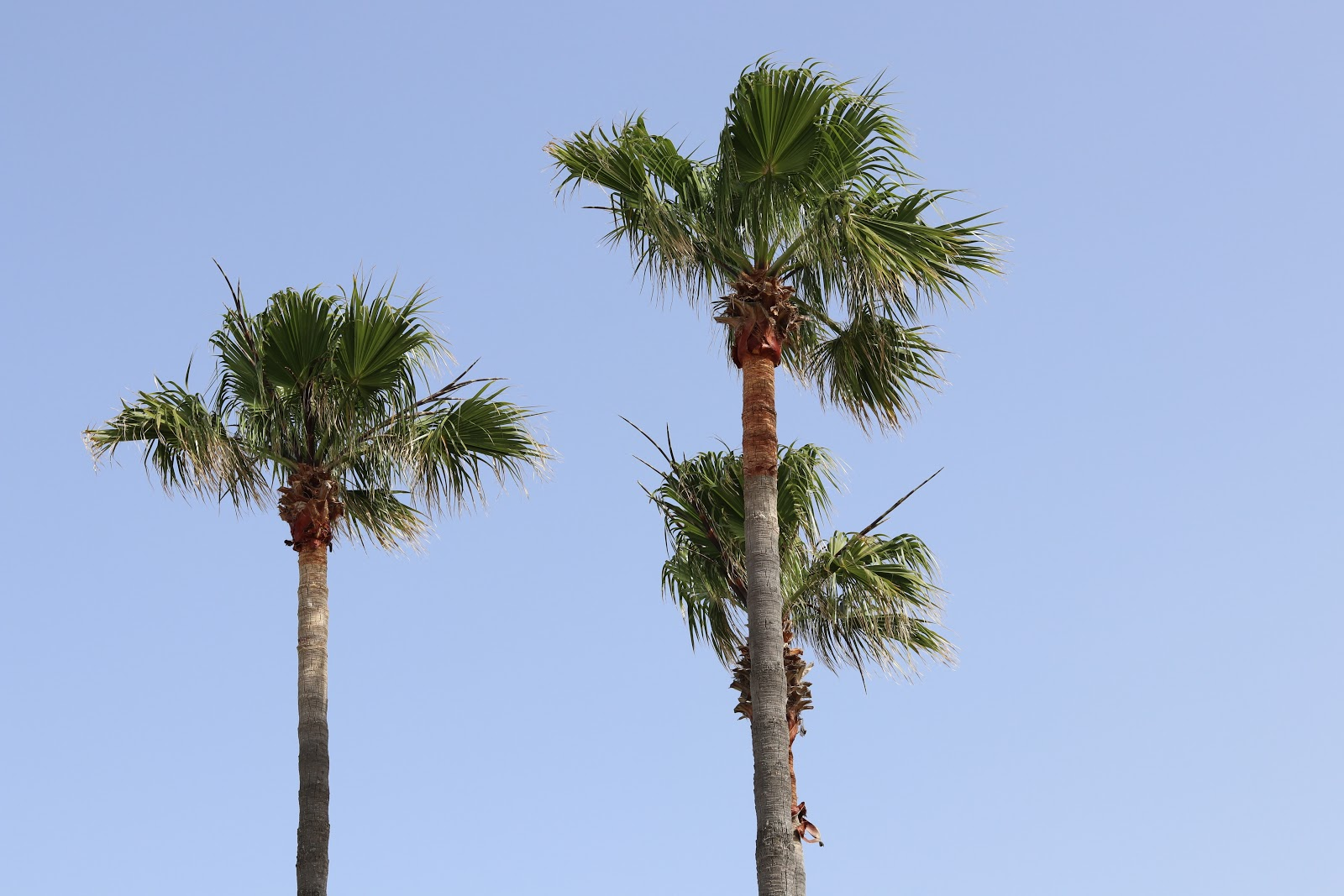 Green Palm Trees against blue sky, Sotogrande, Spain
