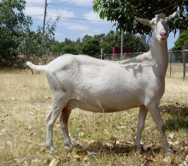 Large Goats India - Year of Clean Water