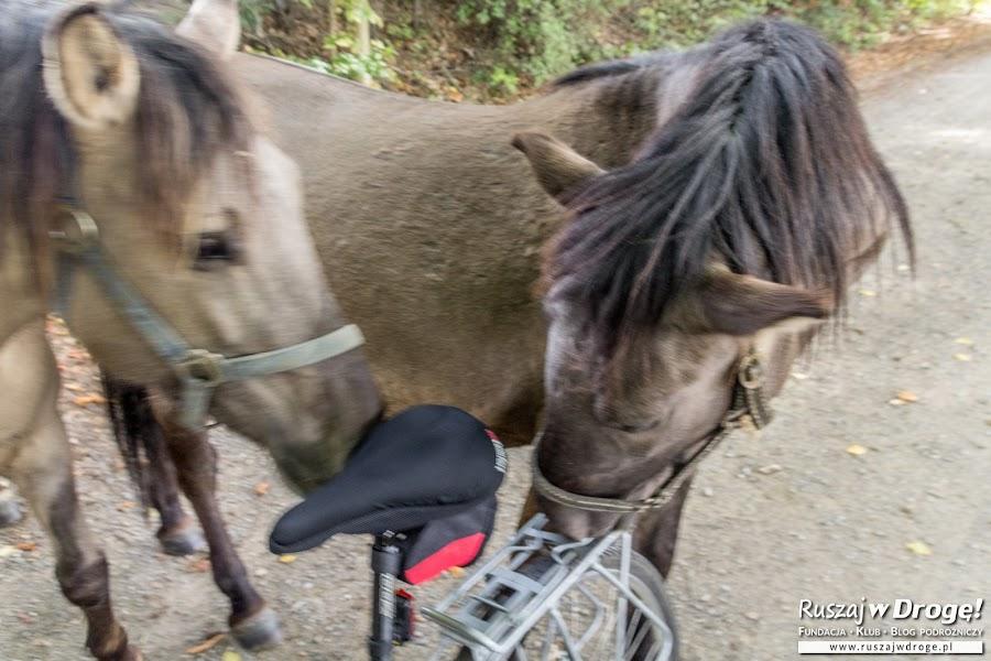 Koniki polskie we Floriance