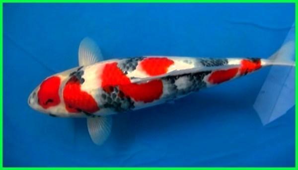 10 Ikan Koi Termahal di Dunia, Harganya Bikin Geleng-geleng Kepala