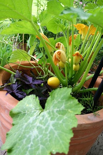 gartentipps zucchini im k bel anbauen runde gelbe. Black Bedroom Furniture Sets. Home Design Ideas