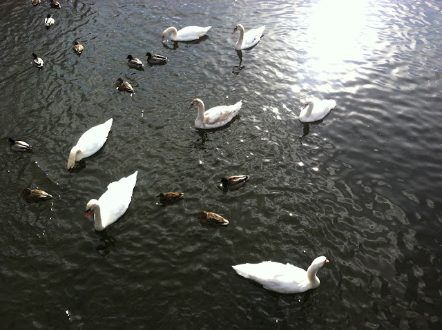 Swans-and-Ducks-at-the-Massapequa-Preserve