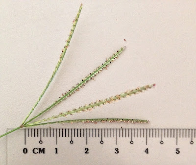 Figure 17. Length of spike from Bermuda grass inflorescence (own photo)