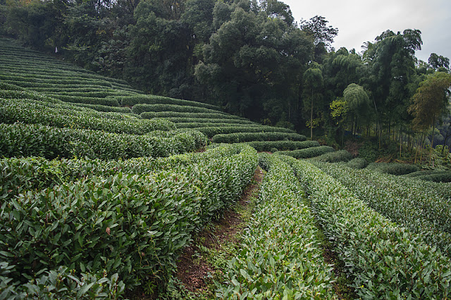 Plantations de thé à Long Jing