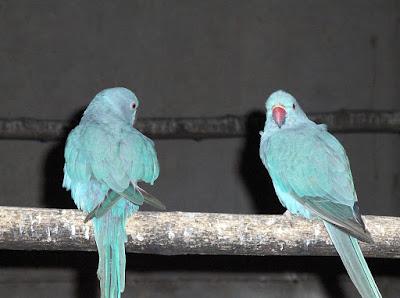 tingkah laku lovebird
