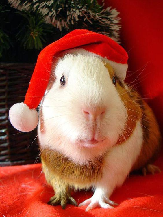 Leuke foto met een cavia met kerstmuts op zijn kop