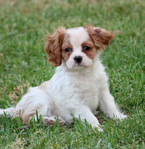 Cavalier King Charles Spaniel Puppies | Puppies Dog Breed Information Image Pictures