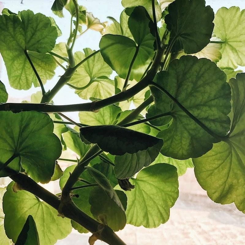 hojas verdes de pelargonium al trasluz