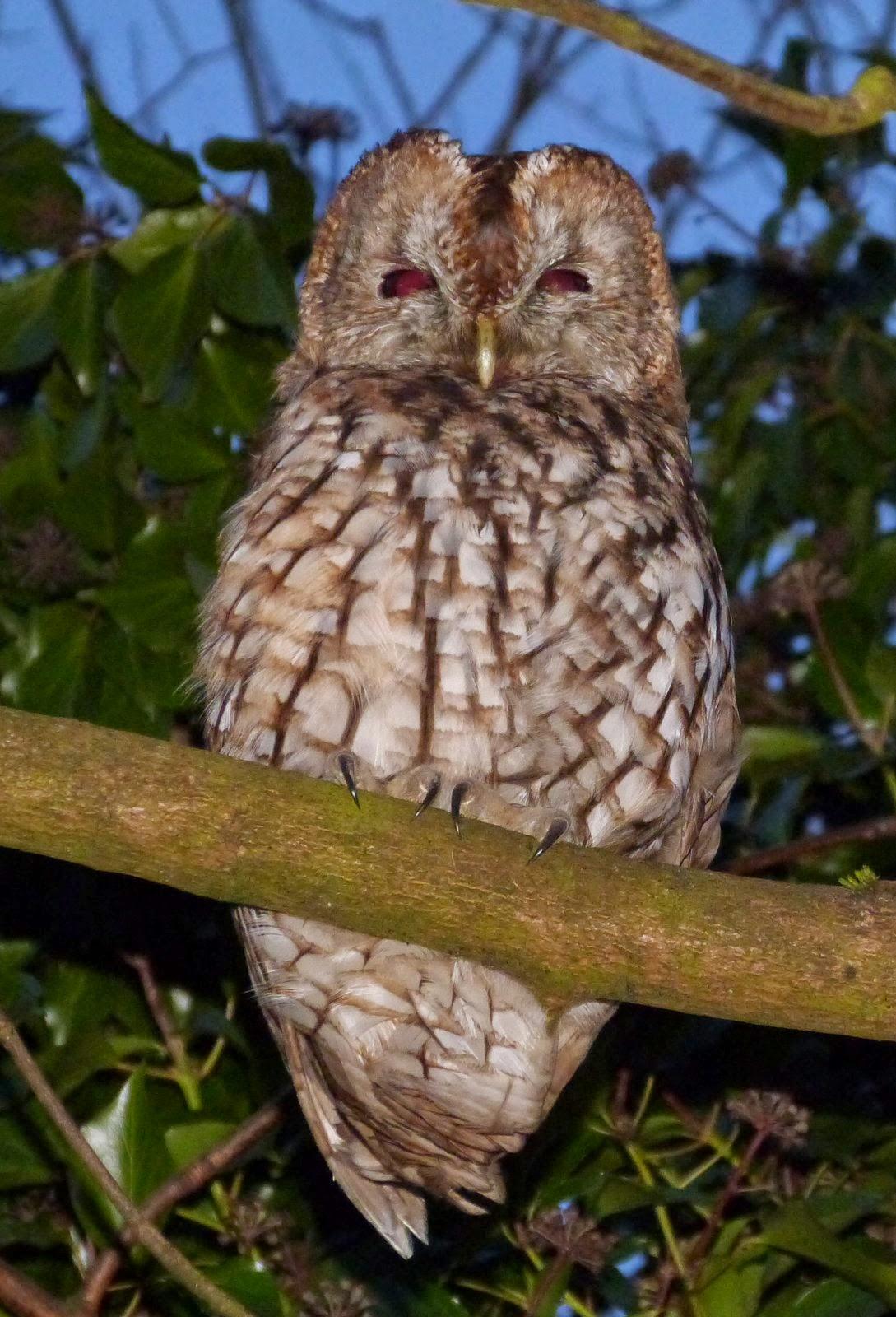 WEST YORKSHIRE BIRDING: Queensbury Tawny Owl