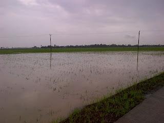 Ratusan Hektar Sawah Terancam Gagal Tanam Akibat Banjir