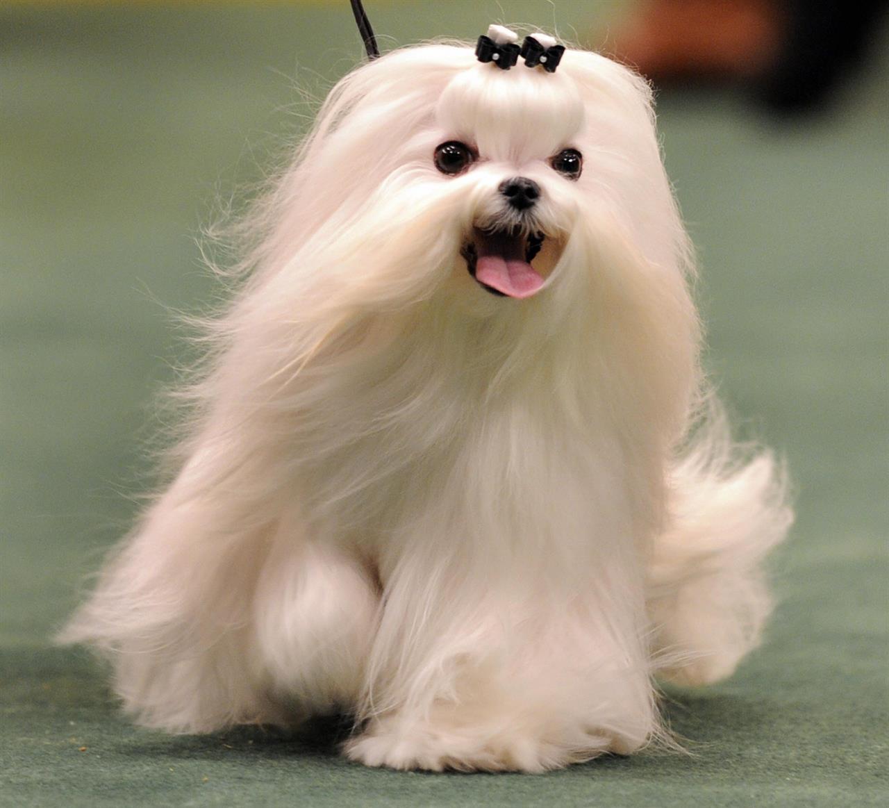 Morsorosso razze canine che non perdono pelo - Barboncino piccolo ...