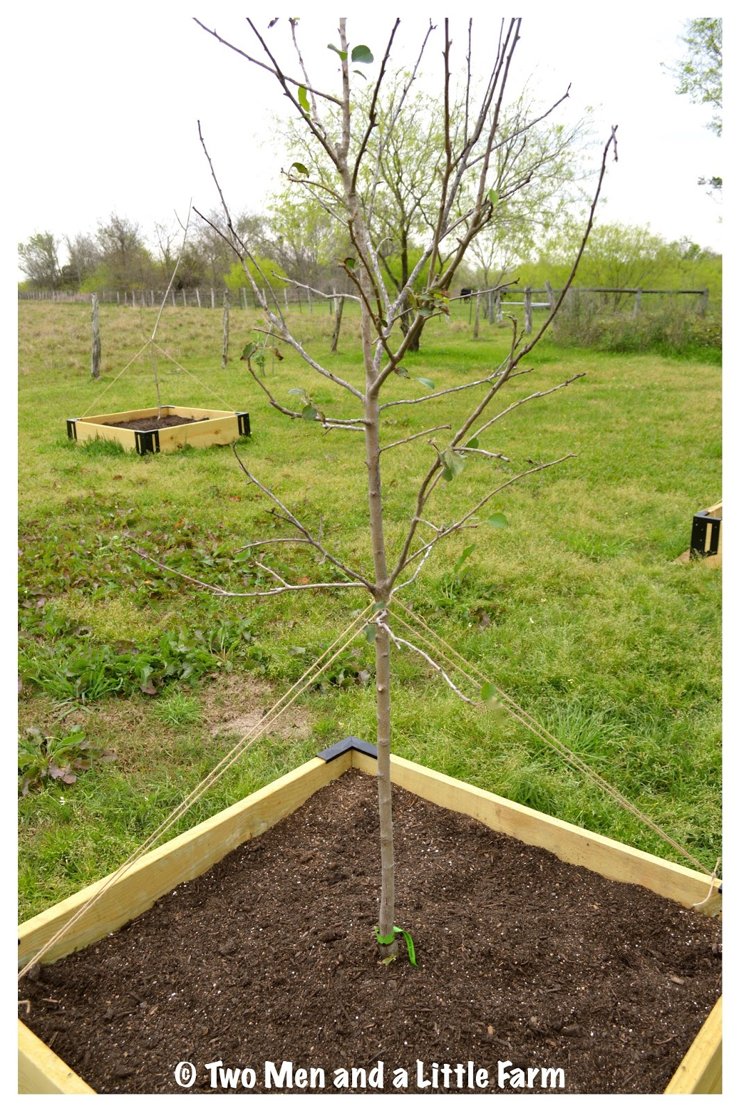 Two Men and a Little Farm FRUIT TREES PLANTED IN RAISED BED ORCHARD