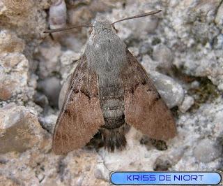 Macroglossum stellatarum - Moro sphinx - Sphinx colibri