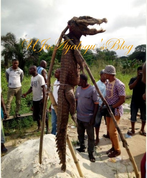 So Scary: Giant Crocodile Caught Alive in Imo State (Photos)