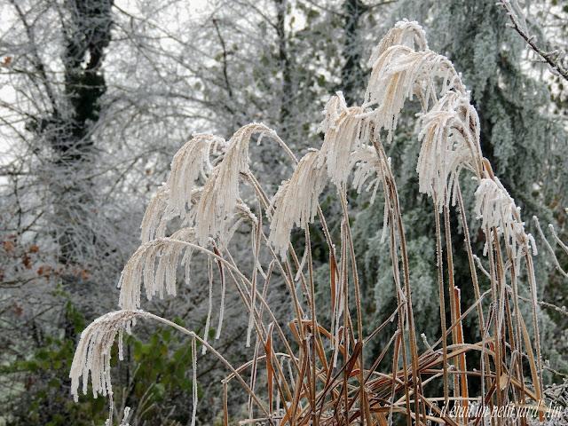 graminées sous le gel en hiver