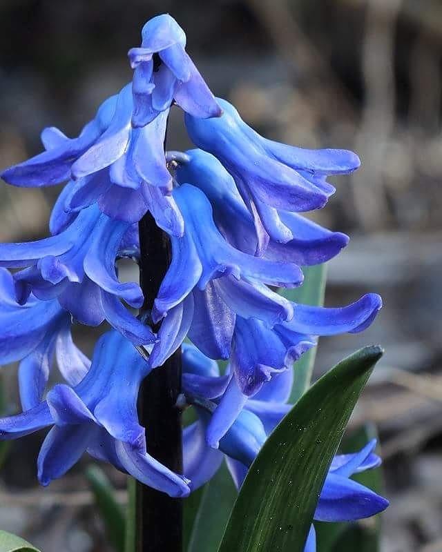 in mijn tuintje - hyacint