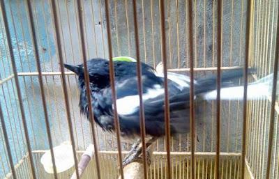 Cara Merawat Burung Kacer Yang Sedang Mabung Nyulam
