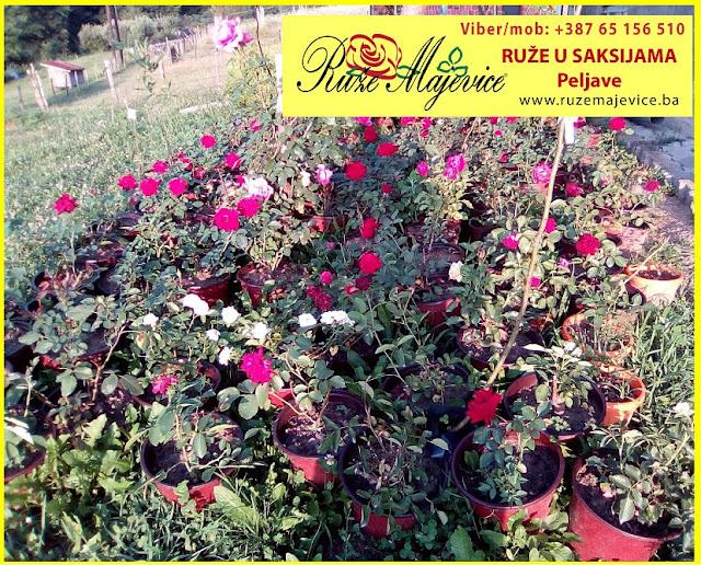Ruže u saksijama iz našeg rasadnika Ruže Majevice, Peljave
