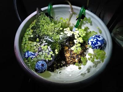 スネール繁殖発覚前の睡蓮鉢。4月中旬。