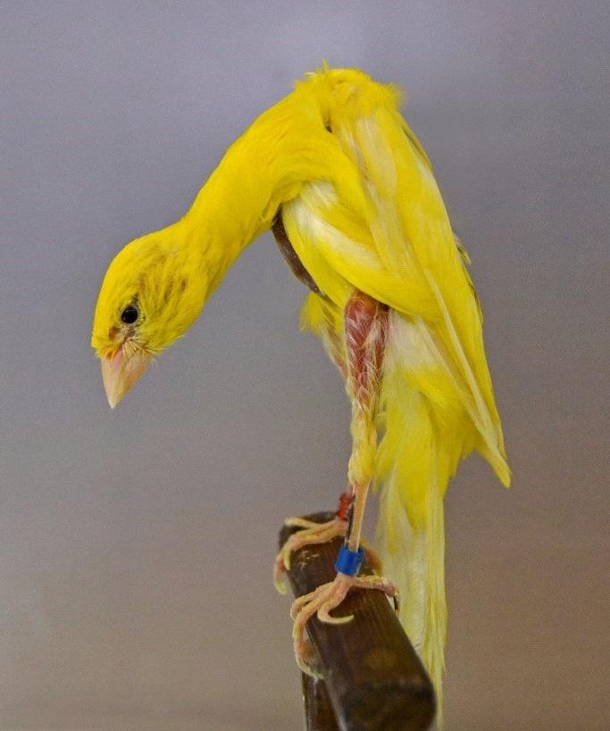 Los Canarios De Postura Canarios Rizados 2