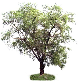 Salgueiro (Salix humboldtiana)