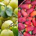 Những loại trái dại dân dã miền Tây gắn liền với tuổi thơ